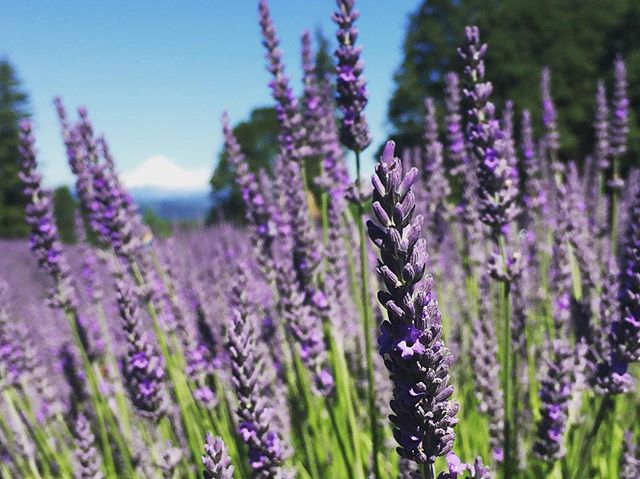 Lavender with a view // Oregon City