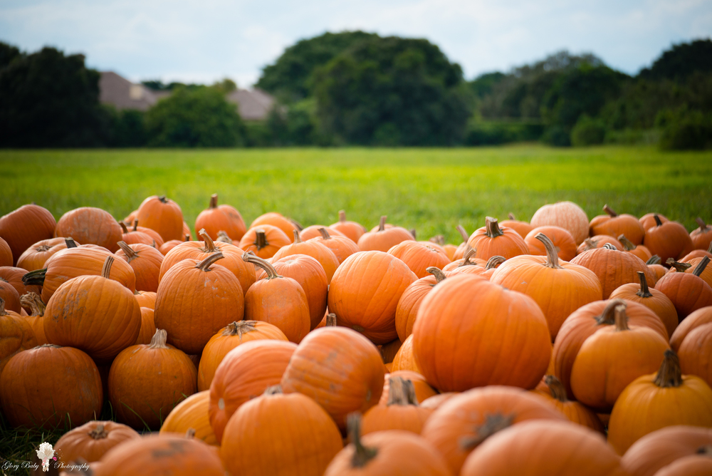 PumpkinPicking2015wm (4 of 64).JPG