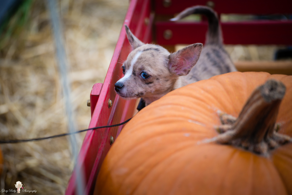 PumpkinPicking2015wm (16 of 64).JPG
