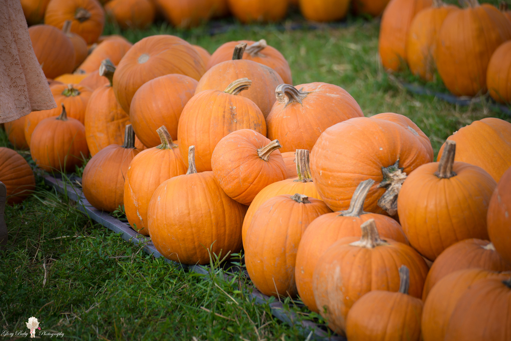 PumpkinPicking2015wm (49 of 64).JPG