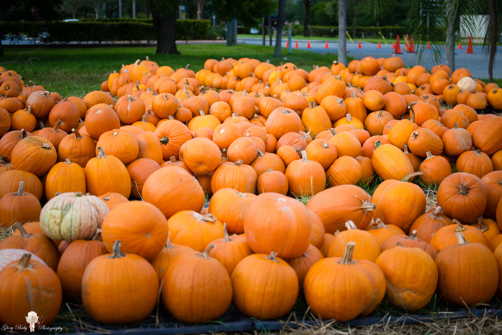 PumpkinPicking2015wm (58 of 64).JPG