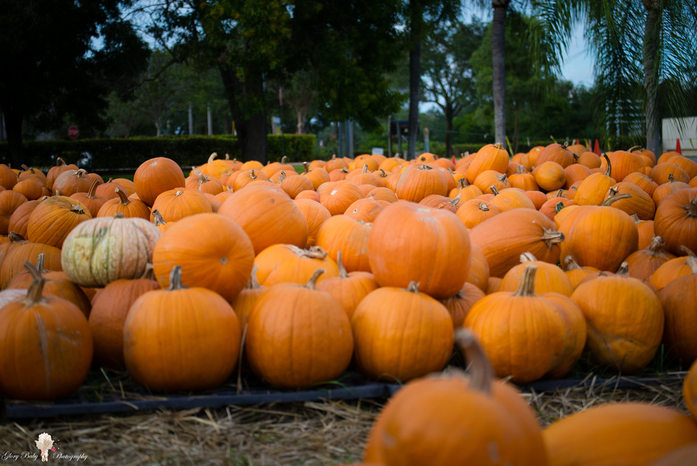 PumpkinPicking2015wm (59 of 64).JPG