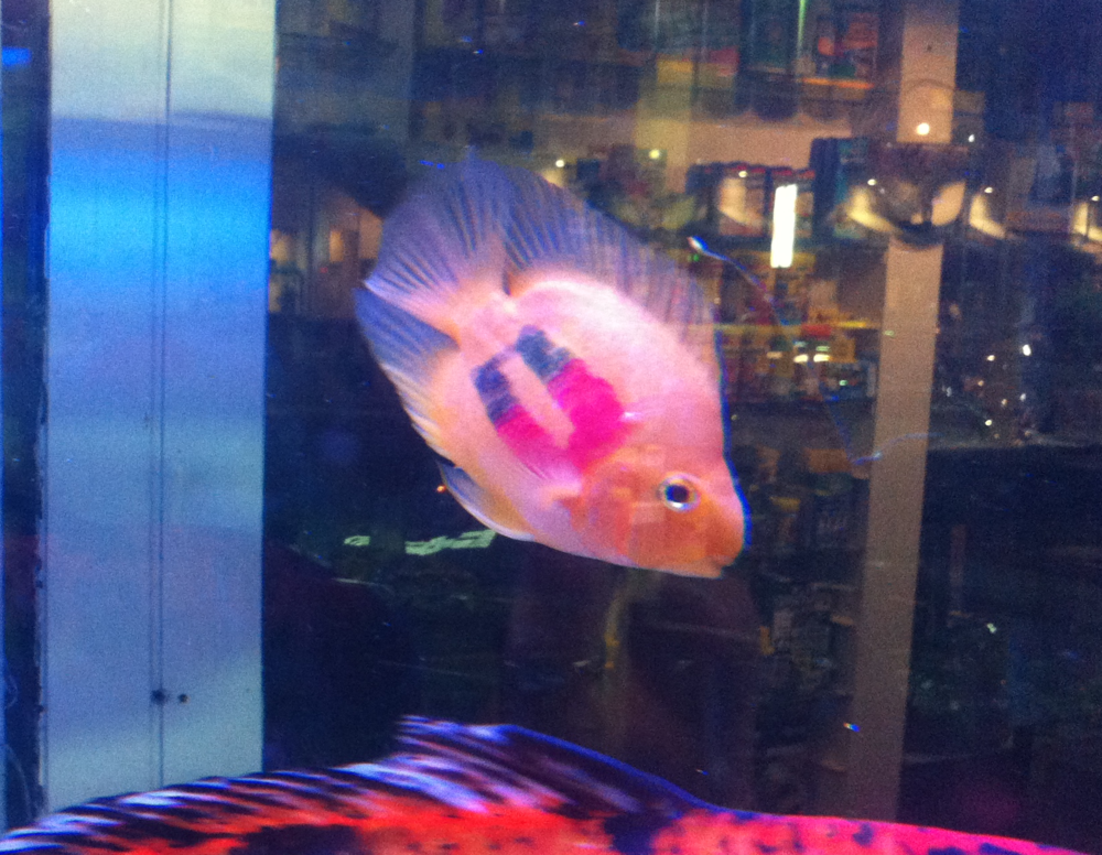Patriot Pet Fish.png