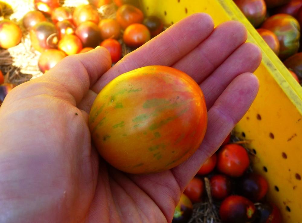 Striped Tomato Love