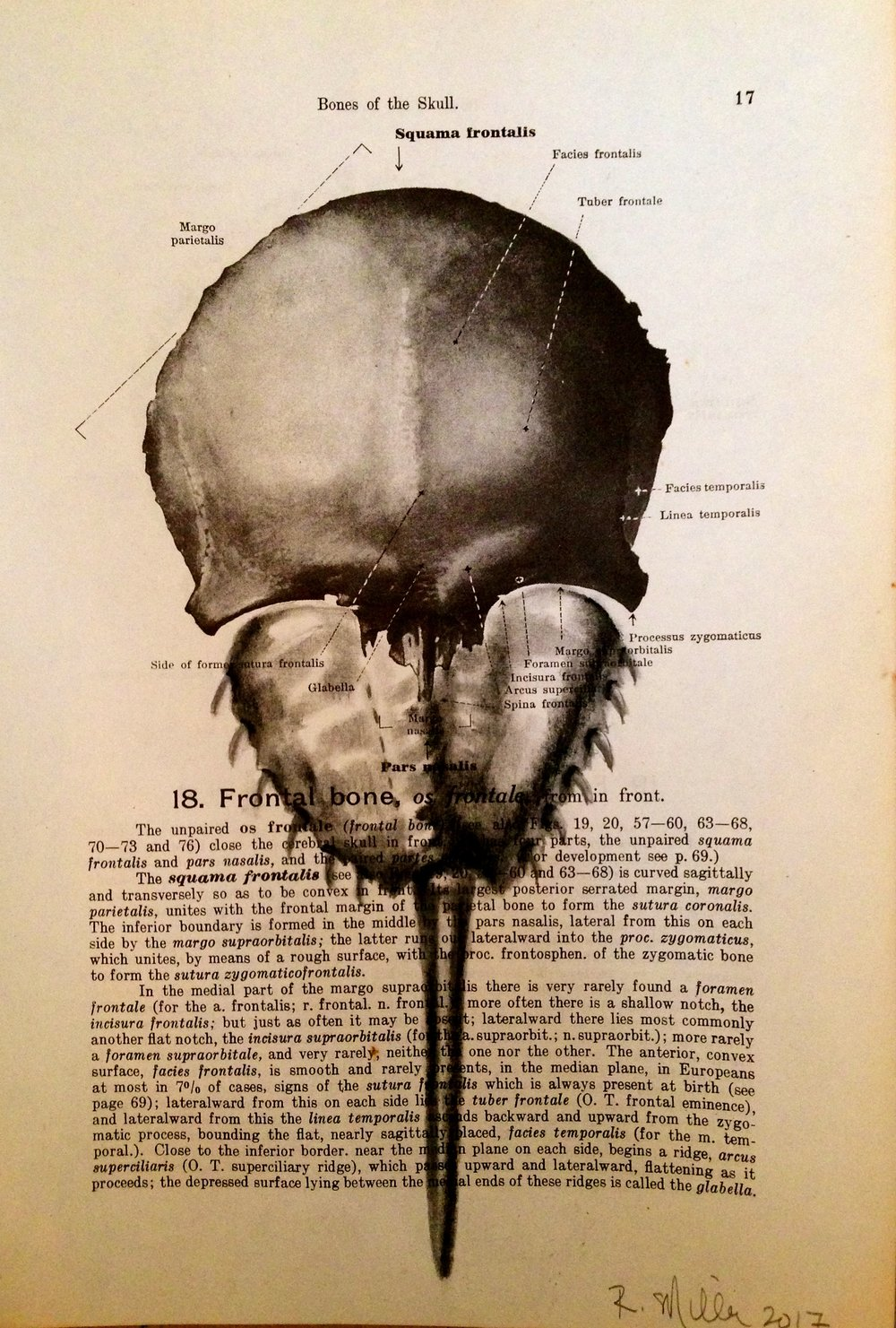 1861 Anatomy paper for frontal skull, I see horseshoe crab Braincrab, 2017 Charcoal on antique 1861 medical paper