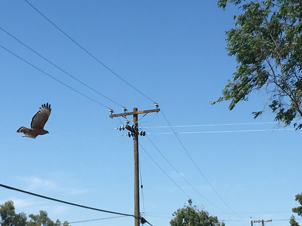 a hawk retreats from a nearby power pole after being startled by a passing cyclist