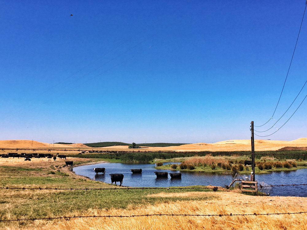 cattle bathing in a creek on a hot summer day