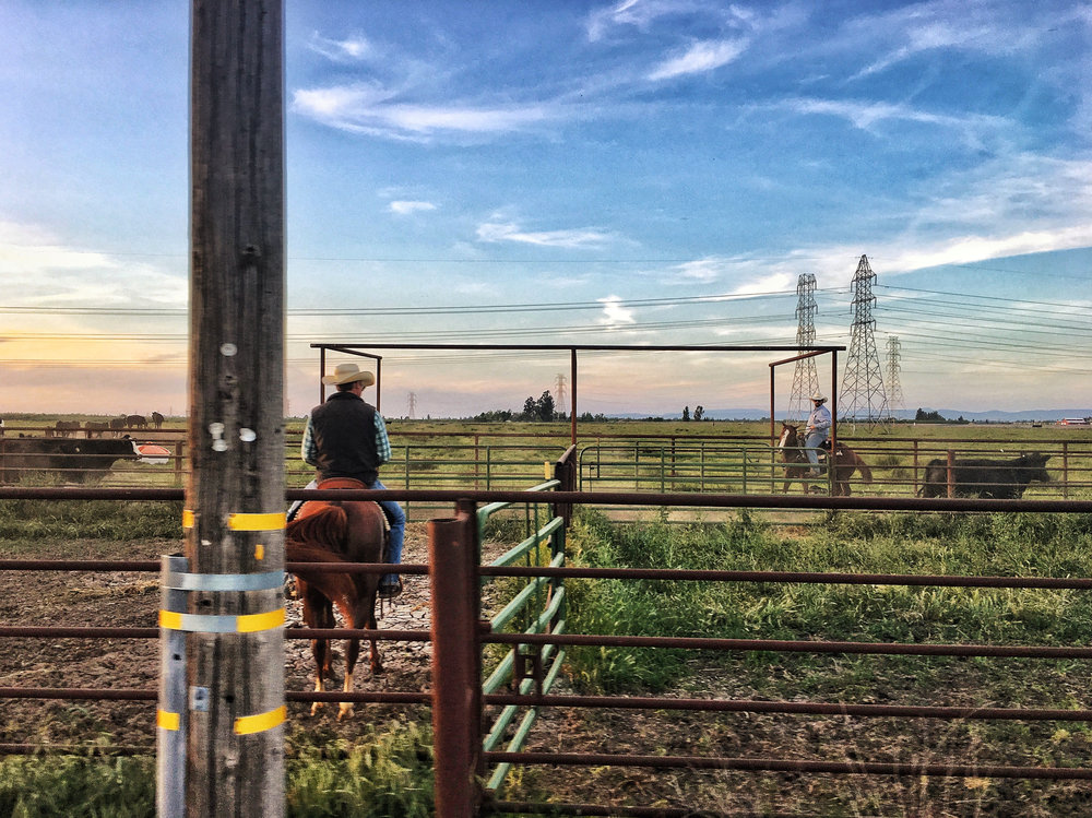 cowboy ranchers on horseback working livestock in on a summer day. Oakdale, CA.