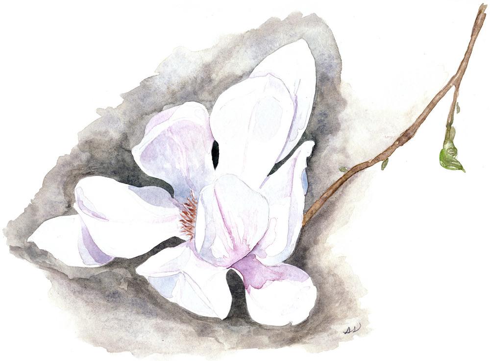 drawingsarah.com_magnolia.jpg