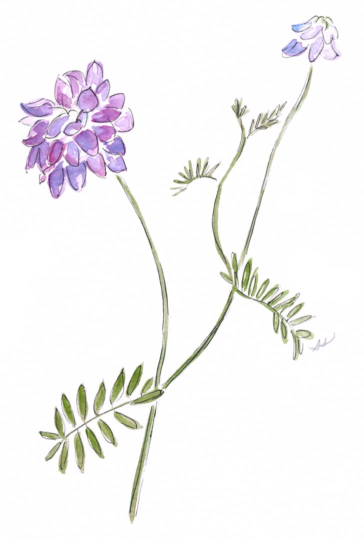 drawingsarah.com_wildflower.jpg