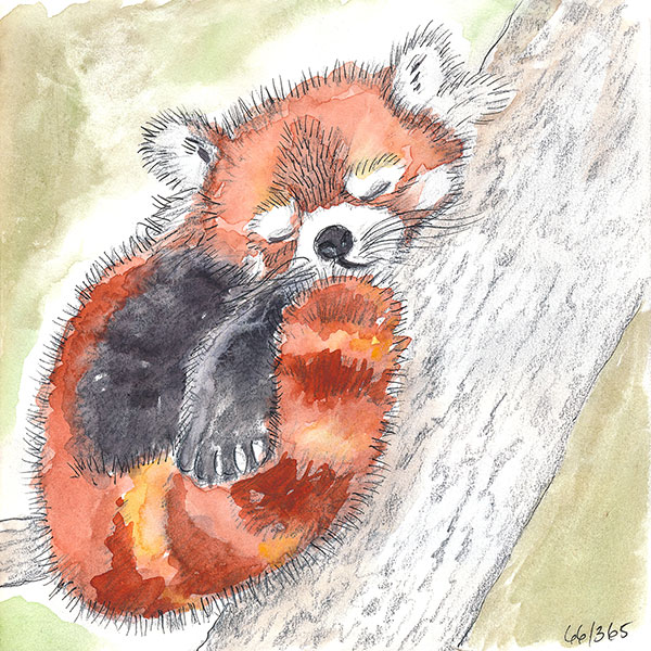 66/365 - watercolor and pen - red panda