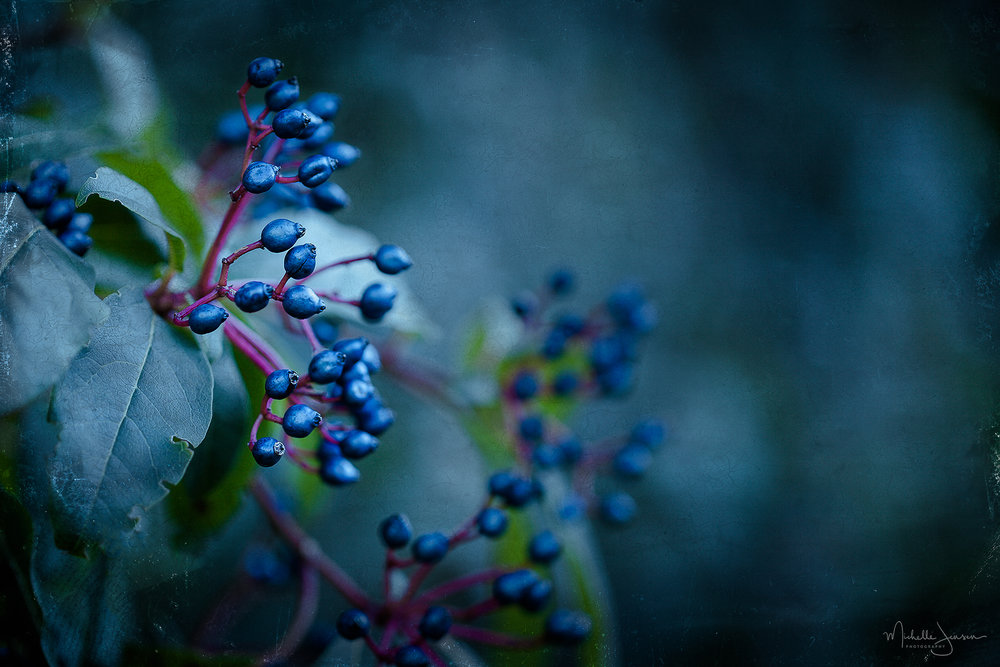 Winter Berries    © Michelle Jensen Photography
