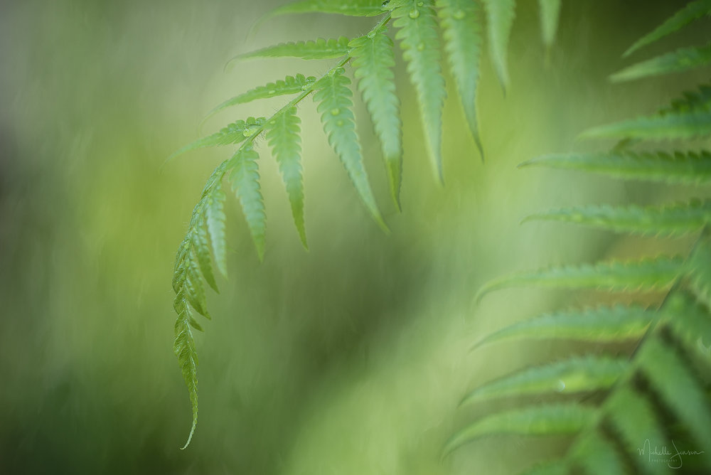 Spring Fern With Dew    © Michelle Jensen Photography