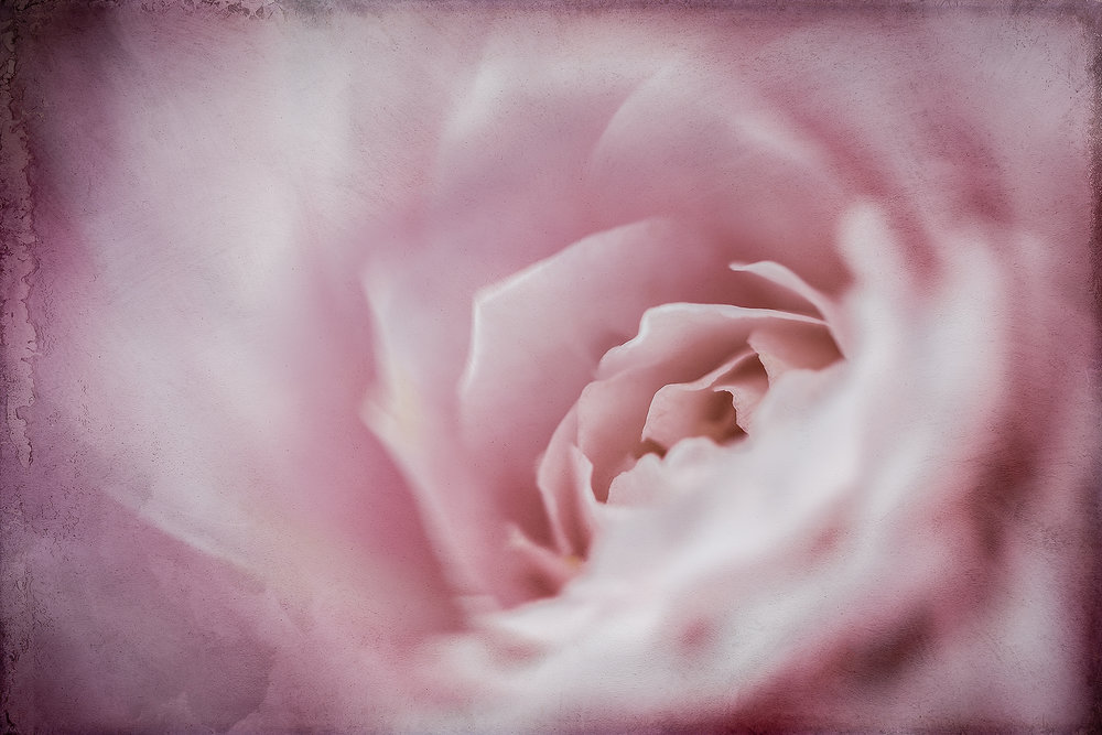 Camelia Inner Workings    © Michelle Jensen Photography