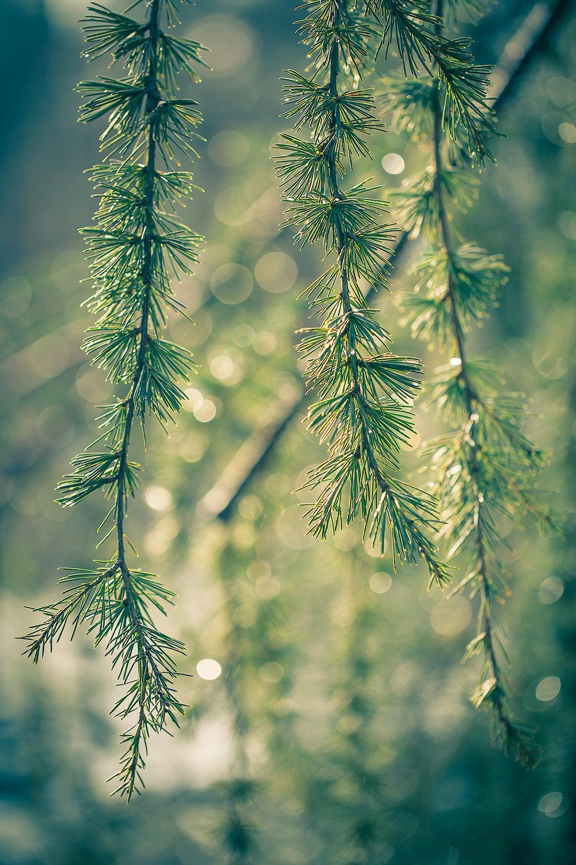 Shimmering Evergreens