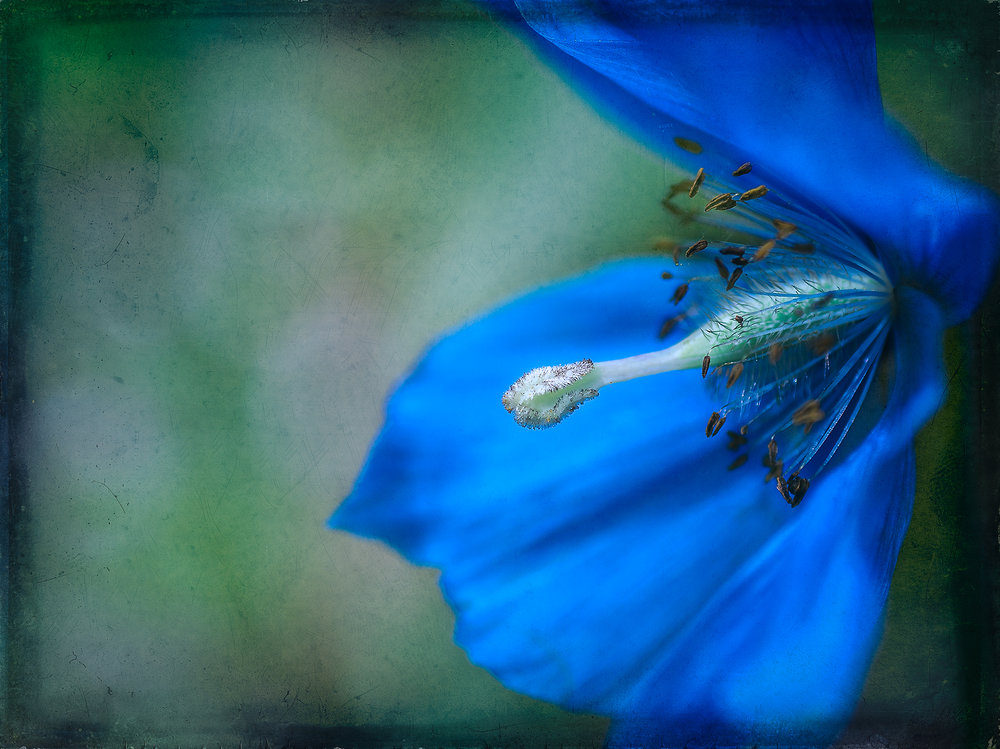 Blue Poppy Pop    © Michelle Jensen Photography