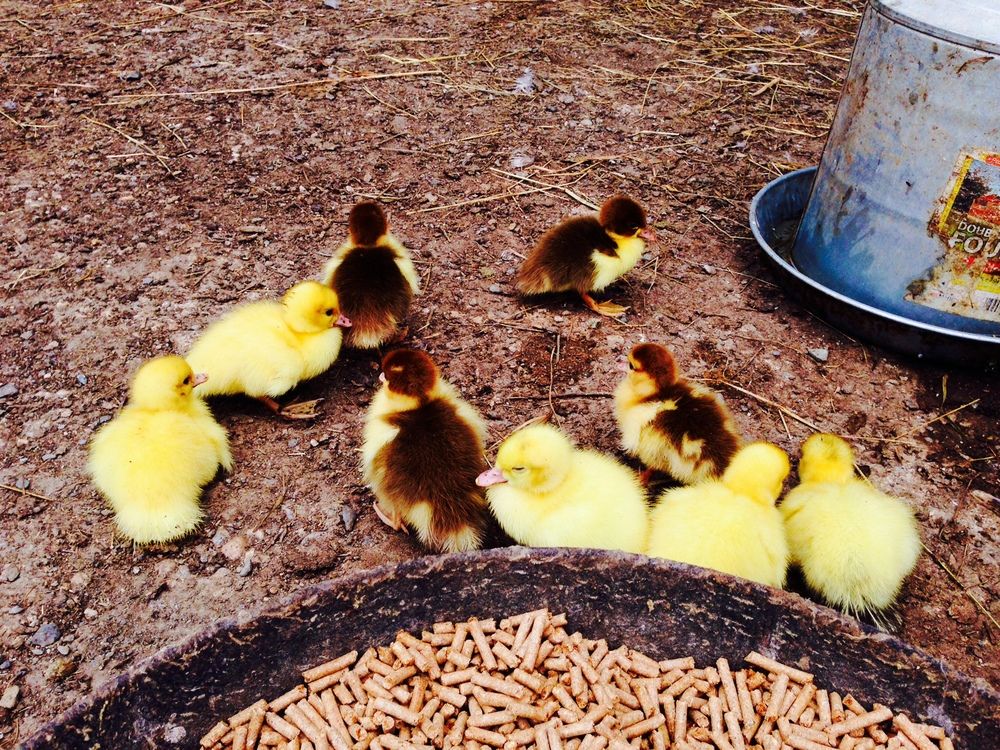 Day old ducklings at Lila's Farm -Great Barrington Massachusetts