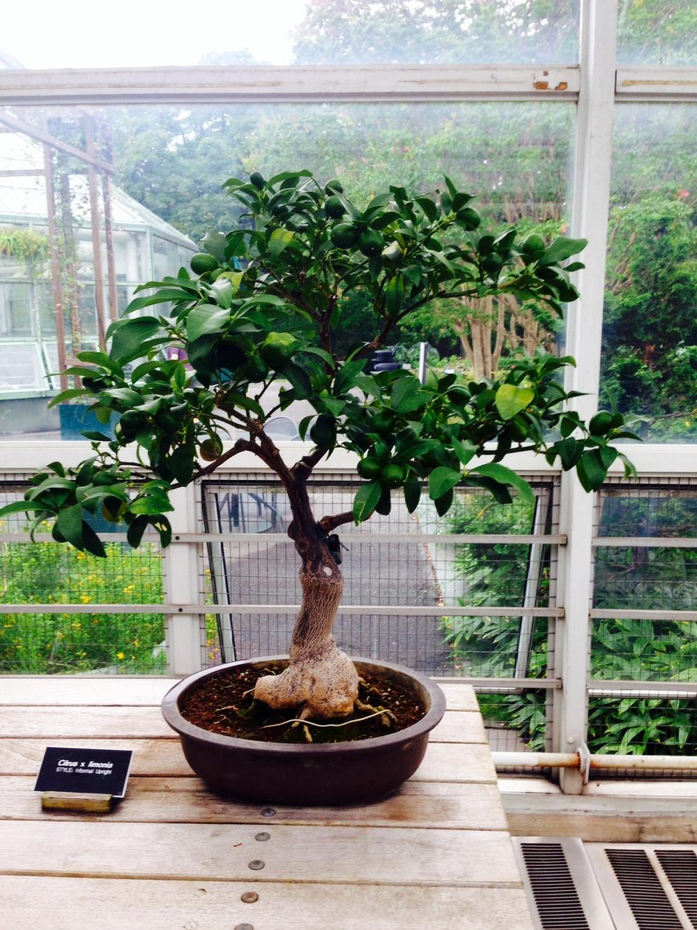 Lime Bonsai at the Botanic Gardens-Brooklyn New York