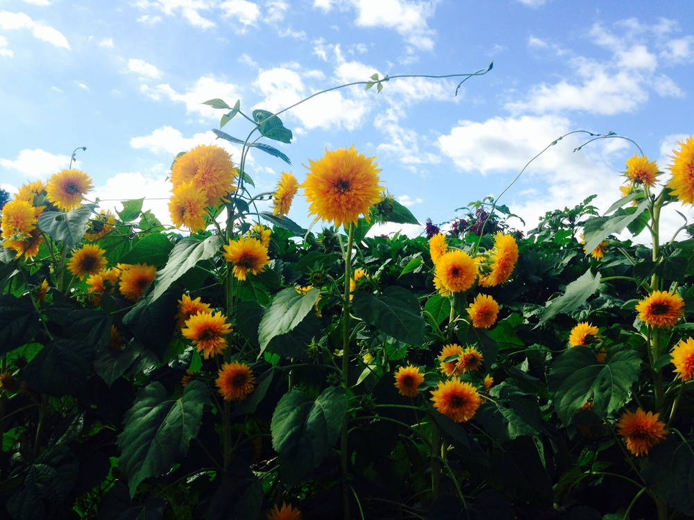 Teddy Bear Sunflowers in Leicester, North Carolina