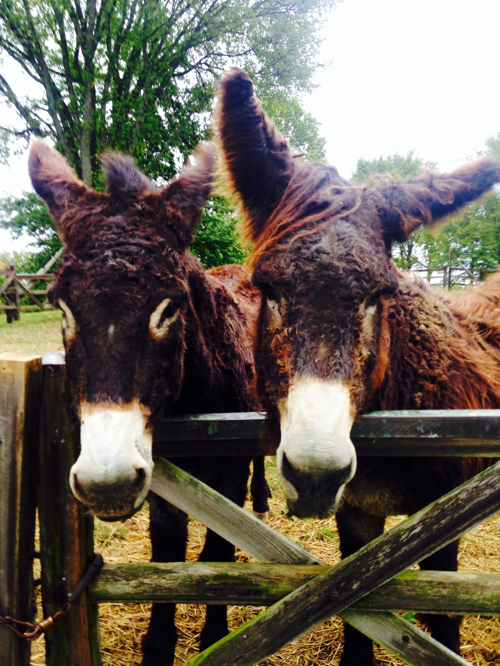 The Rarest Donkeys in the world in Lexington Kentucky at Woodland Farm
