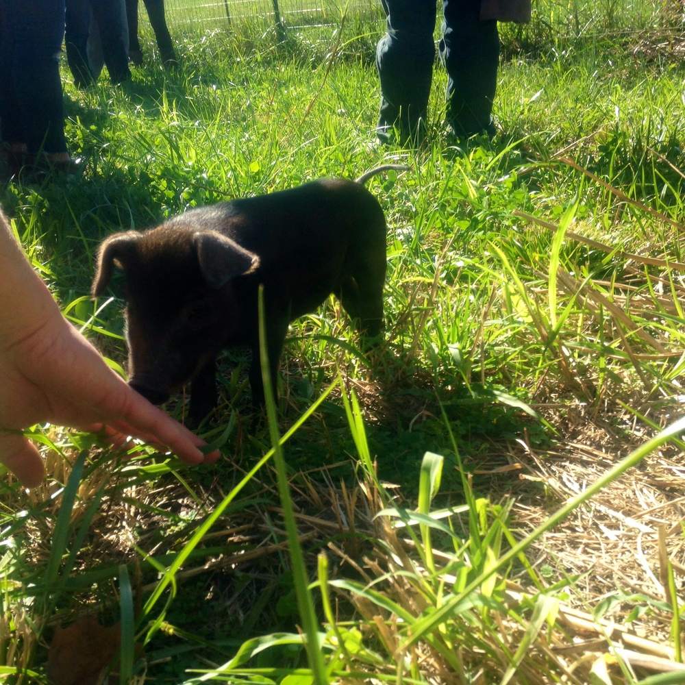 Brittany Spears the baby Pig at Such & Such Farm in De Soto Missouri