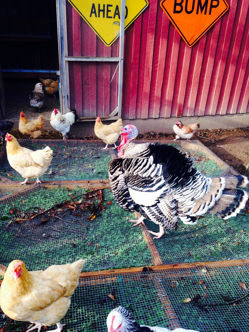 Jive Turkeyand his hens at Such & Such Farm
