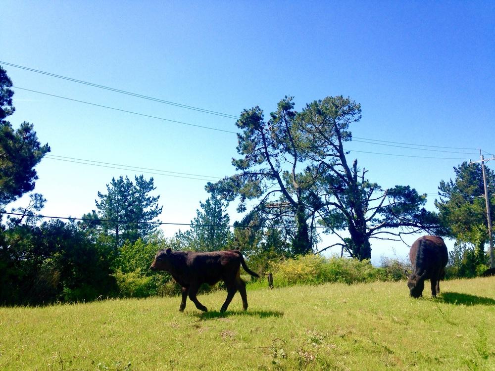 A joyus calf at Wilder Ranch