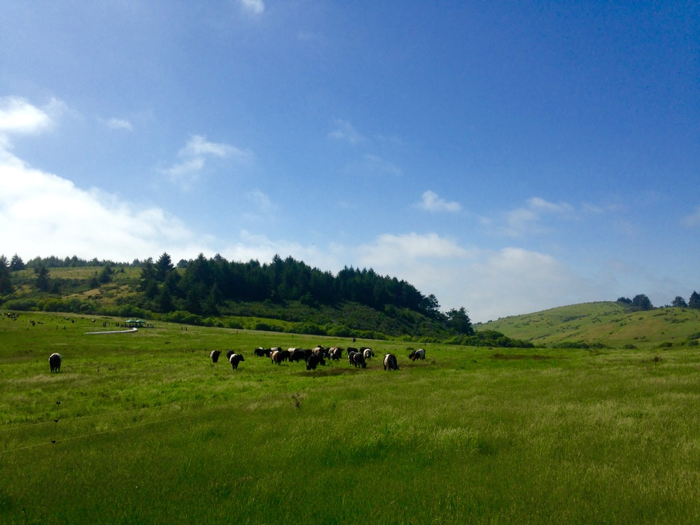 Belted Galloways at Markegard Family Grass Fed in Pescadero, California