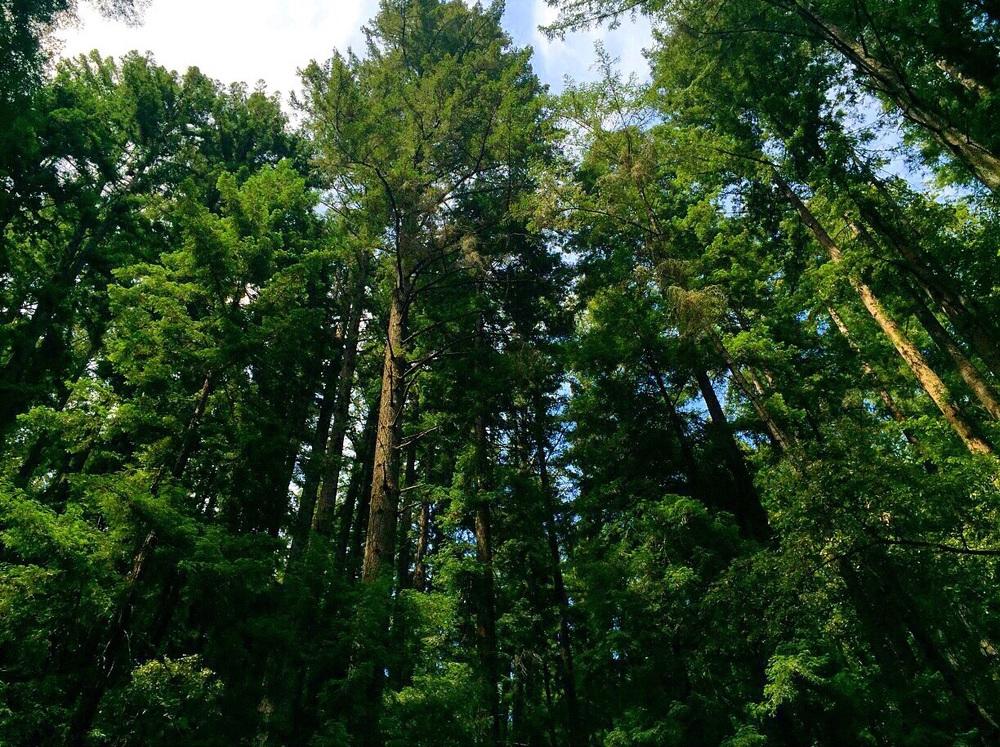 Big Trees.Henry Cowell State Park,Felton, CA