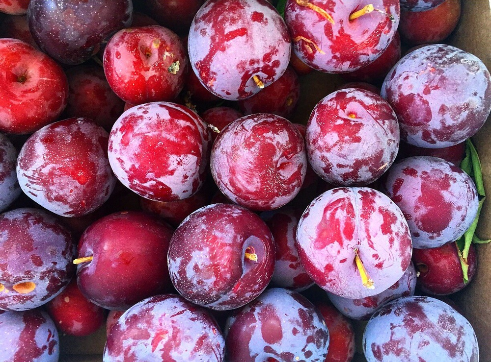 Santa Rosa Plums from Camp Joy Gardens. Boulder Creek, CA