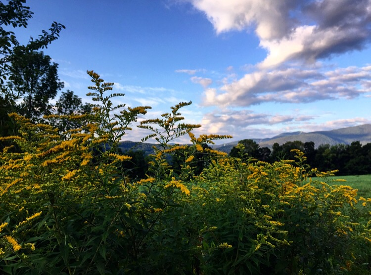 Golden Rod //Fayston, Vermont