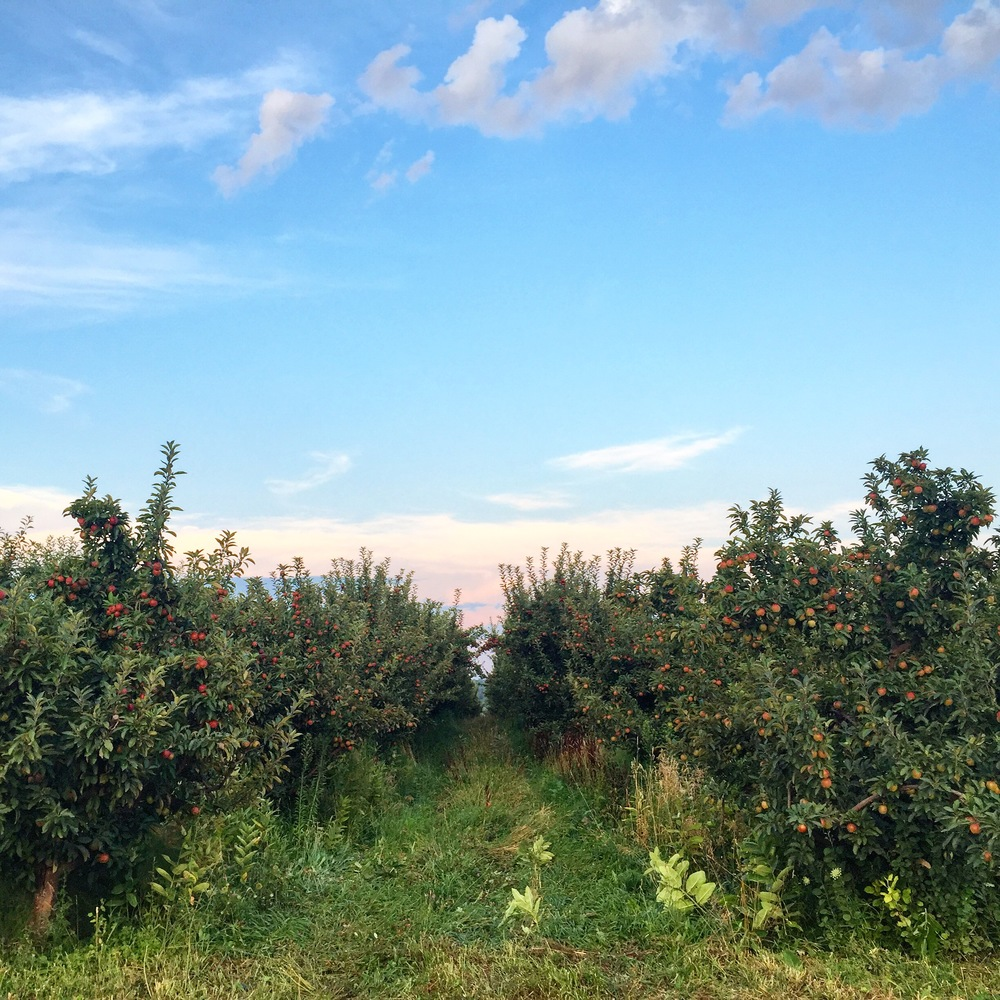 Apple Orchards at Seedling Farm // South Haven, Michigan