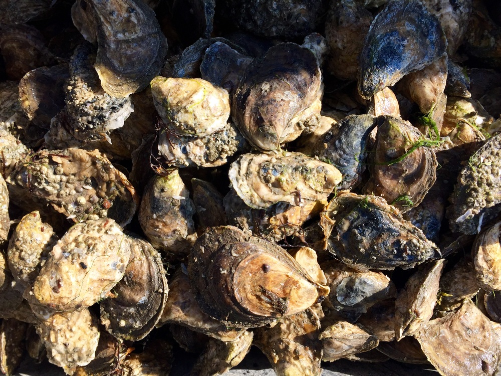 Pemaquid Oysters!