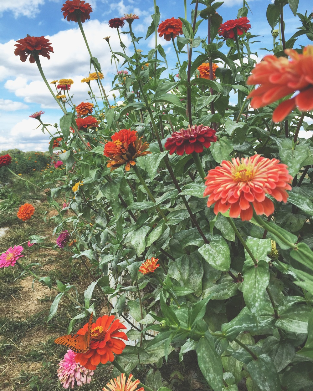 Zinnias + Butterflies// Oxford, Mississippi