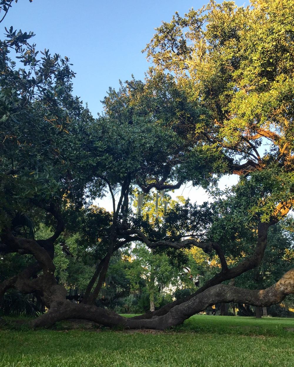 Live Oak in City Park// New Orleans, Louisiana