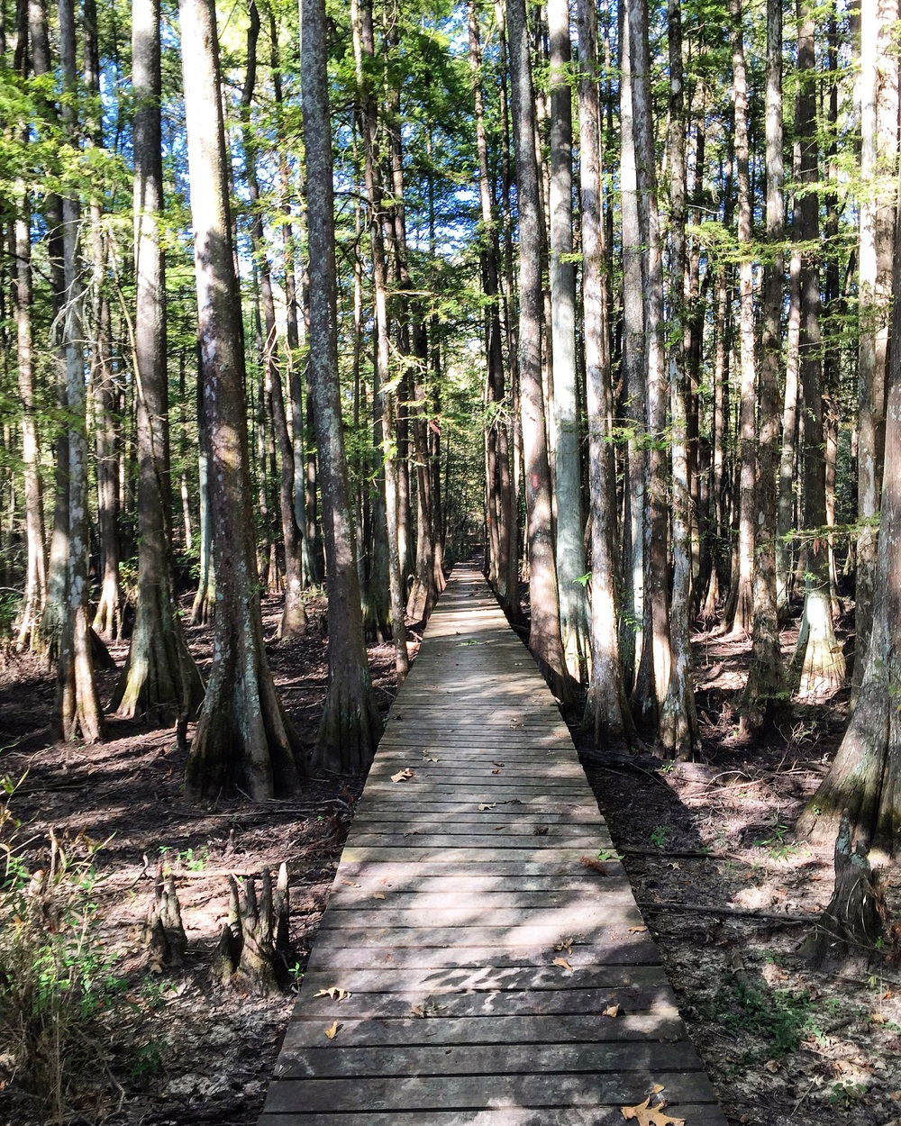 Bald Cypress Trees at Chicot State Park// Ville Platte, Louisiana