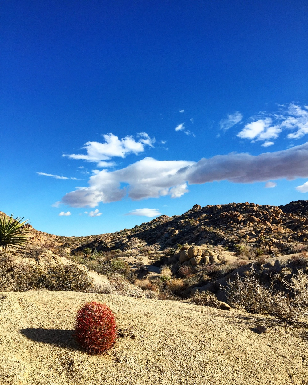 Bartholomew The Barrel Cactus// Joshua Tree, California