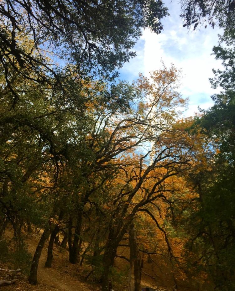 Tree Tops// Los Gatos, California