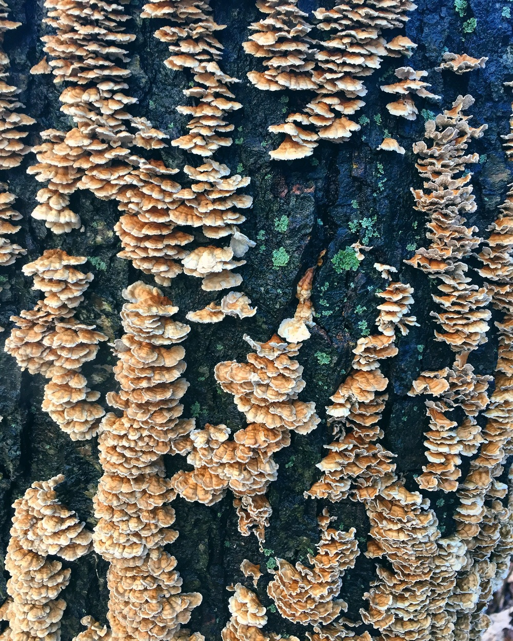 Turkey Tails// Bloomsbury, New Jersey