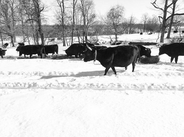 Happy Cows// Milford, New Jersey