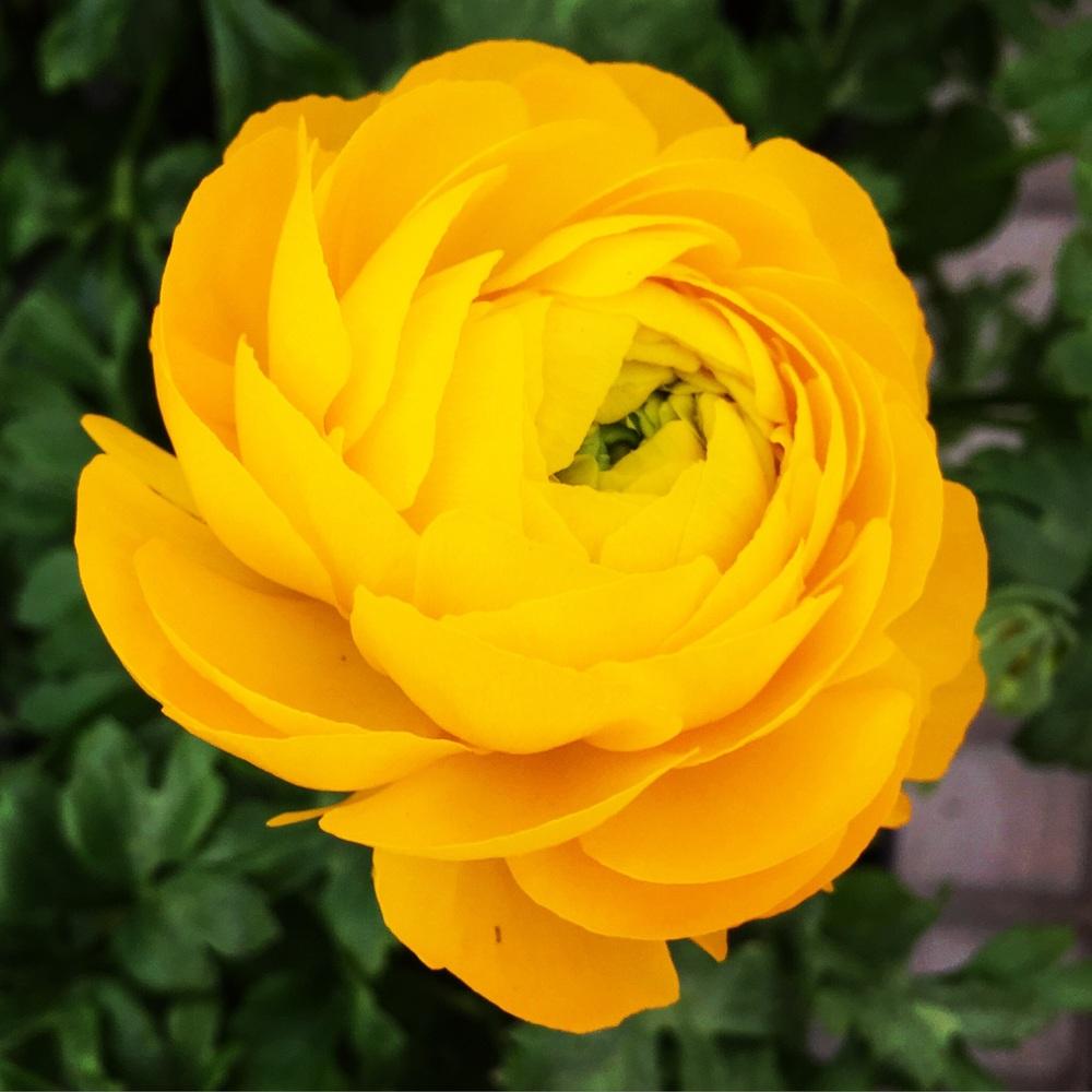 Ranunculus Love// Kintnersville, Pennsylvania