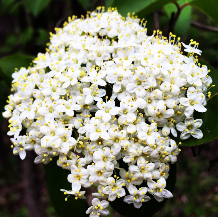 Elderflower Beauty// Milford, New Jersey