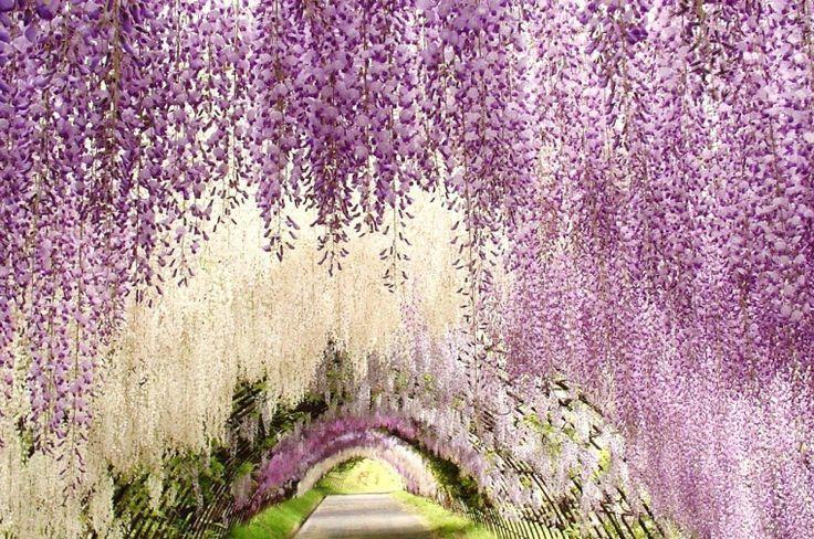 wisteriatunnel_dhla