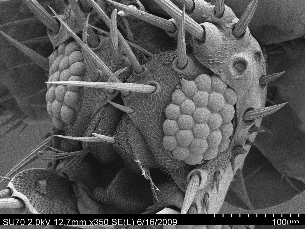 reduced compound eyes - bat fly