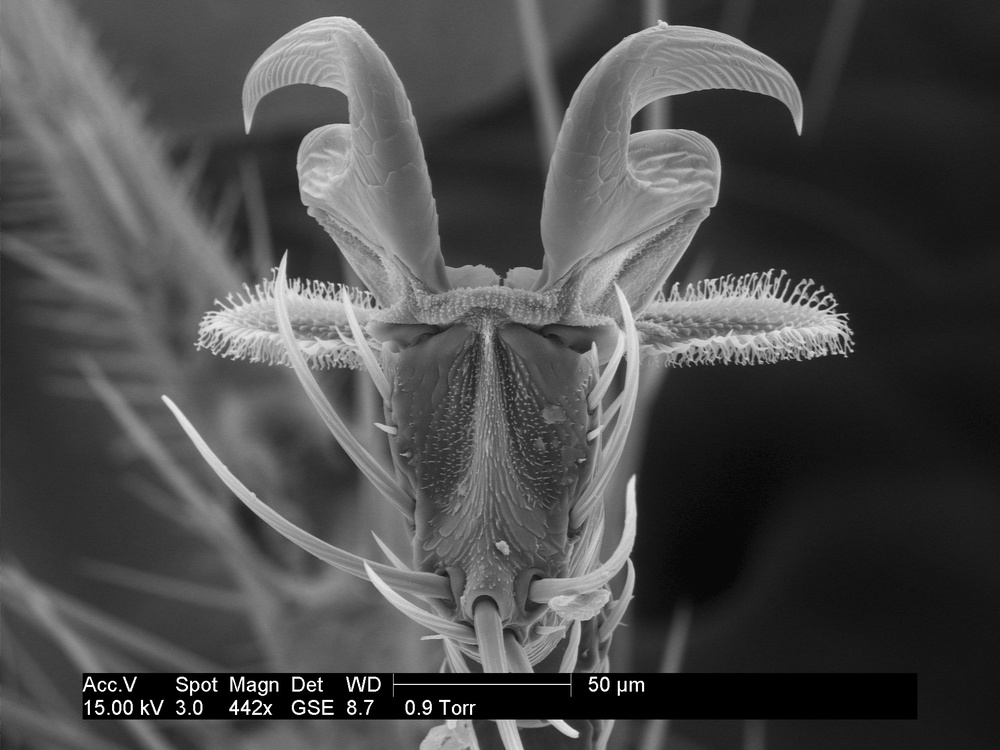claws and pulvilli on bat fly leg
