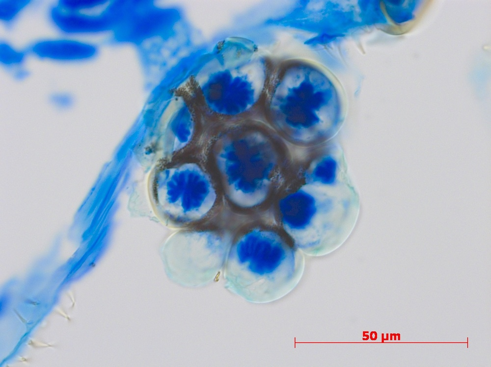 bat fly eye, rhabdomeres visible (blue)