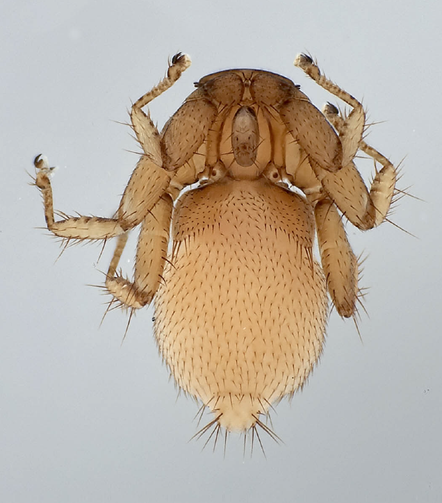 Archinycteribia octophthalma