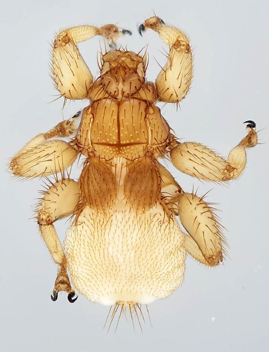 Aspidoptera phyllostomatis