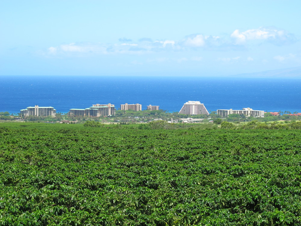 View of Ka'anapali from the coffee fields