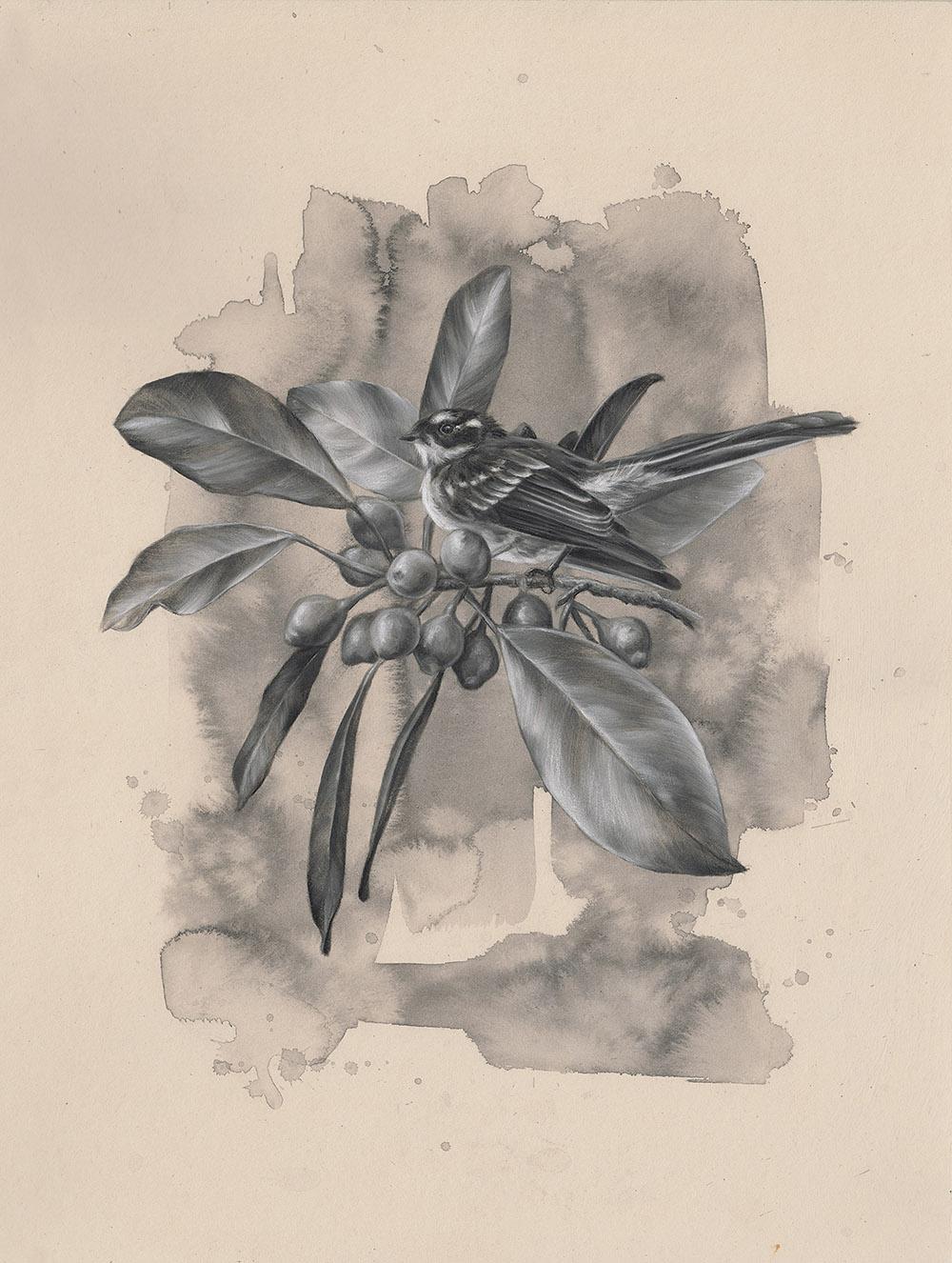 Grey Fantail: 6Series 1.2